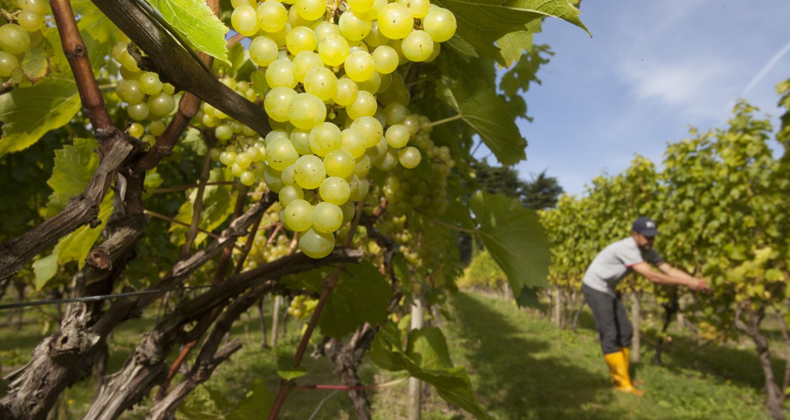 English Wine - What You Need to Know