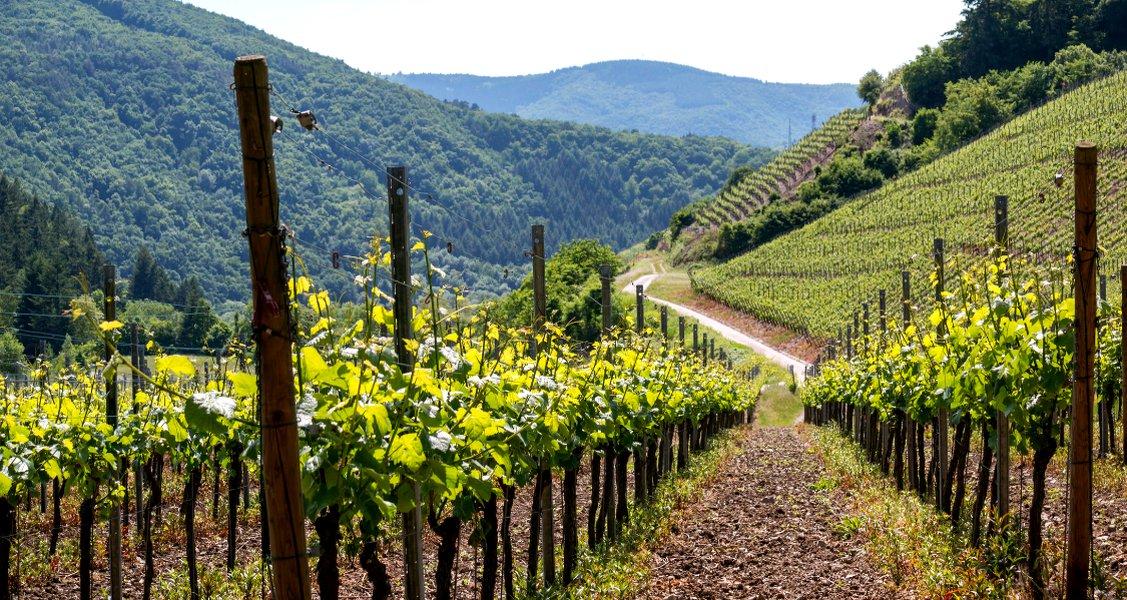 A guide to German grape varieties