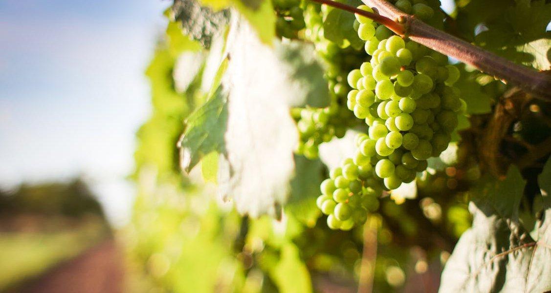 White Wine Grape Varieties | Winebuyers